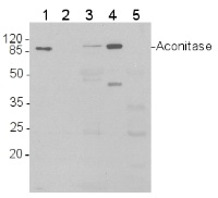 ACO1 | Aconitase in the group Antibodies for Plant/Algal  / Mitochondria | Respiration at Agrisera AB (Antibodies for research) (AS09 521)