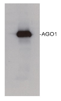 AGO1 | Argonaute 1 in the group Antibodies for Plant/Algal  / DNA/RNA/Cell Cycle / microRNA at Agrisera AB (Antibodies for research) (AS09 527)
