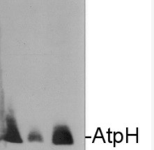AtpH | ATP synthase subunit c (chloroplastic) in the group Antibodies for Plant/Algal  / Photosynthesis  / ATP synthase at Agrisera AB (Antibodies for research) (AS09 591)
