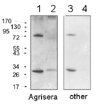 Goat anti-Rabbit IgG (H&L), HRP conjugated - trial sample in the group Secondary Antibodies / Anti-Rabbit / HRP (horse radish peroxidase) at Agrisera AB (Antibodies for research) (AS09 602-trial)