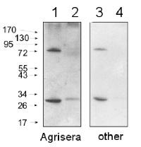 Agrisera Secondary Antibody Blot