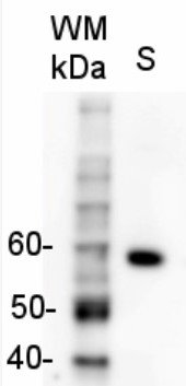 Rabbit anti-Goat IgG (H&L), HRP conjugated in the group Secondary Antibodies / Anti-Goat / HRP (horse radish peroxidase) at Agrisera AB (Antibodies for research) (AS09 605)