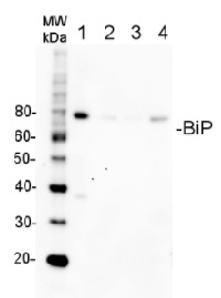 BiP | Lumenal-binding protein (goat antibody) in the group Antibodies for Plant/Algal  / Membrane Transport System / Endomembrane system at Agrisera AB (Antibodies for research) (AS09 615)