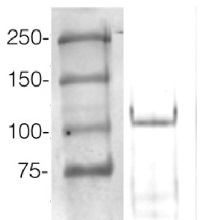 AGO4 | Argonaute 4 in the group Antibodies for Plant/Algal  / DNA/RNA/Cell Cycle / microRNA at Agrisera AB (Antibodies for research) (AS09 617)