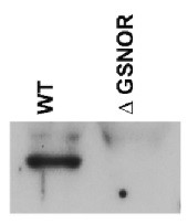 GSNOR | S-nitrosoglutathione reductase in the group Antibodies for Plant/Algal  / Environmental Stress / Wounding at Agrisera AB (Antibodies for research) (AS09 647)