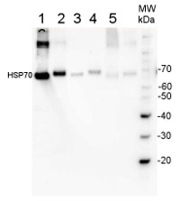 Rabbit anti-Chicken IgY (H&L), HRP conjugated in the group Secondary Antibodies / Anti-Chicken  / HRP (horse radish peroxidase) at Agrisera AB (Antibodies for research) (AS10 1489)