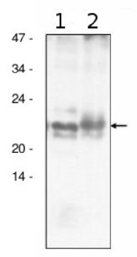 AtpF | CF0I subunit of ATP synthase  in the group Antibodies for Plant/Algal  / Photosynthesis  / ATP synthase at Agrisera AB (Antibodies for research) (AS10 1604)