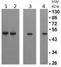 eEF1B-gamma1 and 2 | elongation factor 1-gamma 1 and 2 in the group Antibodies for Plant/Algal  / DNA/RNA/Cell Cycle / Translation at Agrisera AB (Antibodies for research) (AS10 676)