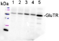 GluTR | Glutamyl -tRNA reductase  in the group Antibodies for Plant/Algal  / Photosynthesis  / Chlorophyll at Agrisera AB (Antibodies for research) (AS10 689)