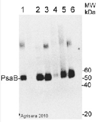 PsaB | PSI-B core subunit of photosystem I in the group Antibodies for Plant/Algal  / Global Antibodies at Agrisera AB (Antibodies for research) (AS10 695)