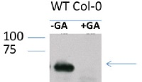 RGA | DELLA protein RGA in the group Antibodies for Plant/Algal  / Hormones / Biosynthesis/regulation at Agrisera AB (Antibodies for research) (AS11 1630)