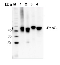 PsbC | CP43 protein of PSII in the group Plant/Algal Antibodies / Photosynthesis  / PSII (Photosystem II) at Agrisera AB (Antibodies for research) (AS11 1787)