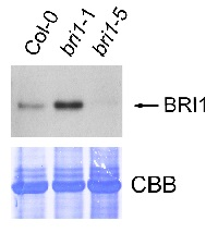 BRI1 | Brassinosteroid insensitive 1 in the group Antibodies for Plant/Algal  / Hormones / Brassinosteroids/regulation at Agrisera AB (Antibodies for research) (AS12 1859)