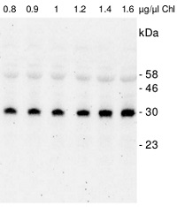 SNE18 | Rossmann-fold NAD(P)-binding domain-containing protein in the group Antibodies for Plant/Algal  / Photosynthesis  / GreenCut at Agrisera AB (Antibodies for research) (AS12 2118)