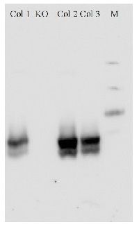 NRT1.1 | Nitrate transporter 1.1  in the group Antibodies for Plant/Algal  / Developmental Biology / Signal transduction at Agrisera AB (Antibodies for research) (AS12 2611)