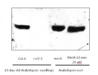 COI1 | Coronate insensitive 1 (rabbit antibody) in the group Antibodies for Plant/Algal  / Developmental Biology / Signal transduction at Agrisera AB (Antibodies for research) (AS12 2637)