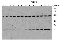 CGL40 in the group Plant/Algal Antibodies / Photosynthesis  / GreenCut at Agrisera AB (Antibodies for research) (AS13 2641)
