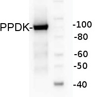 PPDK | Pyruvate orthophosphate dikinase in the group Plant/Algal Antibodies / Developmental Biology / Signal transduction at Agrisera AB (Antibodies for research) (AS13 2647)
