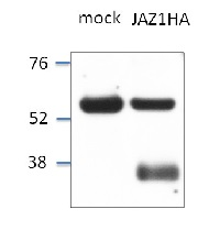 JAZ1 | Jasmonate ZIM-domain protein 1  in the group Antibodies for Plant/Algal  / Hormones / Jasmonates at Agrisera AB (Antibodies for research) (AS13 2648)