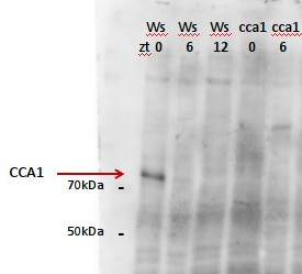 CCA1 | Circadian clock associated 1 in the group Plant/Algal Antibodies / Developmental Biology / Circadian clock at Agrisera AB (Antibodies for research) (AS13 2659)