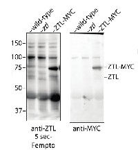 ZTL (ADO1) | Zeitlupe (Adagio protein 1) in the group Antibodies for Plant/Algal  / Developmental Biology / Flowering at Agrisera AB (Antibodies for research) (AS13 2662)