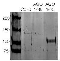 AGO2 | Argonaute 2 in the group Antibodies for Plant/Algal  / Environmental Stress / Pathogen attack at Agrisera AB (Antibodies for research) (AS13 2682)