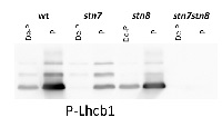 Lhcb1-P | LHCII type I chlorophyll a/b-binding protein, phopshorylated in the group Antibodies for Plant/Algal  / Photosynthesis  / LHC at Agrisera AB (Antibodies for research) (AS13 2704)
