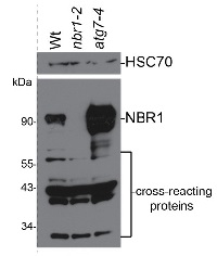 NBR1 | Autophagy substrate NBR1 in the group Antibodies for Plant/Algal  / Environmental Stress / Pathogen attack at Agrisera AB (Antibodies for research) (AS14 2805)