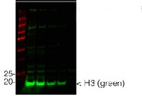 H3 | Histone H3 (chicken antibody) in the group Antibodies for Plant/Algal  / DNA/RNA/Cell Cycle / Nuclear signaling at Agrisera AB (Antibodies for research) (AS15 2855)