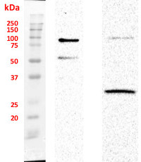 SUN1,2 (nuclear envelope protein) (Arabidopsis thaliana) in the group Plant/Algal Antibodies / DNA/RNA/Cell Cycle / Nuclear signaling at Agrisera AB (Antibodies for research) (AS15 2856)