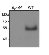 PntA (Slr1239) | Pyridine nucleotide transhydrogenase alpha-subunit in the group Antibodies for Plant/Algal  / Cyanobacteria at Agrisera AB (Antibodies for research) (AS15 2910)