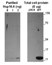 ACD | alpha crystalline domain of sHSP in the group Plant/Algal Antibodies / Environmental Stress / Heat shock at Agrisera AB (Antibodies for research) (AS15 3029)