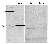 LUT5 | beta-carotene hydroxylase  in the group Plant/Algal Antibodies / Photosynthesis  / Carotenoid metabolism at Agrisera AB (Antibodies for research) (AS15 3085)