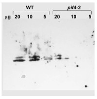 PIF4 | Phytochrome interacting factor 4 (rabbit antibody) in the group Antibodies for Plant/Algal  / DNA/RNA/Cell Cycle / Transcription regulation at Agrisera AB (Antibodies for research) (AS16 3157)