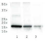 H3K27me3S28p | Histone H3 (trimethylated Lys27, p Ser28) in the group Plant/Algal Antibodies / DNA/RNA/Cell Cycle / Epigenetics/DNA methylation at Agrisera AB (Antibodies for research) (AS16 3184)