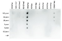 H3K27ac | Histone H3 acetylated lysine 27 (ChIP grade) in the group Antibodies for Plant/Algal  / DNA/RNA/Cell Cycle / Epigenetics/DNA methylation at Agrisera AB (Antibodies for research) (AS16 3195)
