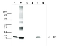 H3 | Histone 3 core | (monoclonal) in the group Antibodies for Plant/Algal  / DNA/RNA/Cell Cycle / Epigenetics/DNA methylation at Agrisera AB (Antibodies for research) (AS16 3197)