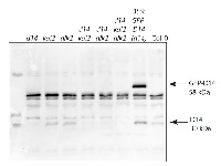 D14 | Strigolactone esterase D14 in the group Antibodies for Plant/Algal  / Hormones / Biosynthesis/regulation at Agrisera AB (Antibodies for research) (AS16 3694)