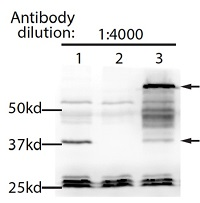 HDT3 | Histone deacetylase HDT3 in the group Antibodies for Plant/Algal  / DNA/RNA/Cell Cycle / Nuclear signaling at Agrisera AB (Antibodies for research) (AS16 3968)