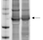 Ara h1, clone 17 in the group Antibodies for Plant/Algal  / Food Proteins/Allergens at Agrisera AB (Antibodies for research) (AS16 3977)