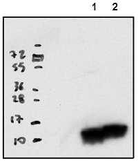 RPL33 | 50S ribosomal protein L33 (chloroplastic) in the group Antibodies for Plant/Algal  / DNA/RNA/Cell Cycle / Translation at Agrisera AB (Antibodies for research) (AS16 4082)
