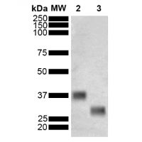GST-tag, ALP-conjugated (mouse monoclonal, clone 3E2) in the group Antibodies for Human/Animal  / Tag Antibodies / GST at Agrisera AB (Antibodies for research) (AS18 4185)