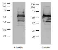 TROL | Thylakoid rhodanese-like protein in the group Antibodies for Plant/Algal  / Photosynthesis  / Electron transfer at Agrisera AB (Antibodies for research) (AS19 4257)