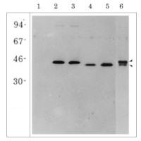 Glutamine synthetase (leaf,root) in the group Antibodies for Plant/Algal  / Nitrogen Metabolism at Agrisera AB (Antibodies for research) (AS20 4426)