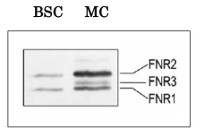 FNR2 | Ferredoxin  NADP Reductase, isoprotein 2 (leaf) in the group Antibodies for Plant/Algal  / Photosynthesis  / Electron transfer at Agrisera AB (Antibodies for research) (AS20 4438)
