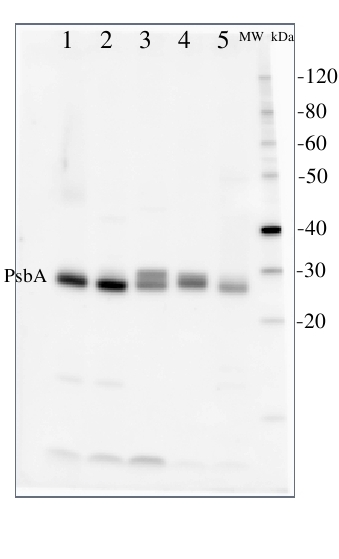 PsbA western blot detection