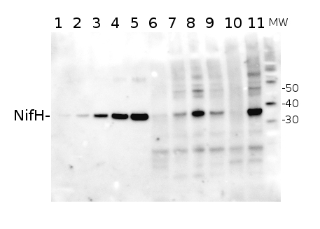 western blot using anti-NifH hen antibody