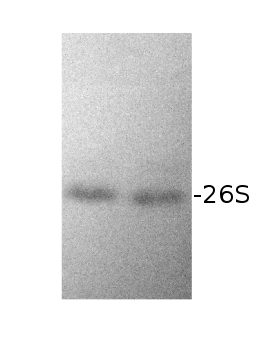 western blot using anti-RPN10 antibody