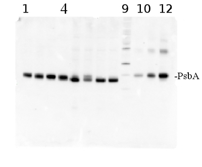 western blot using PsbA antibody and PsbA protein standard