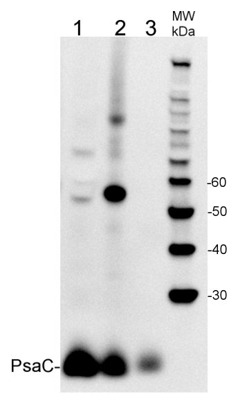 western blot detection of PsaC using Agrisera primary and secondary antibodies
